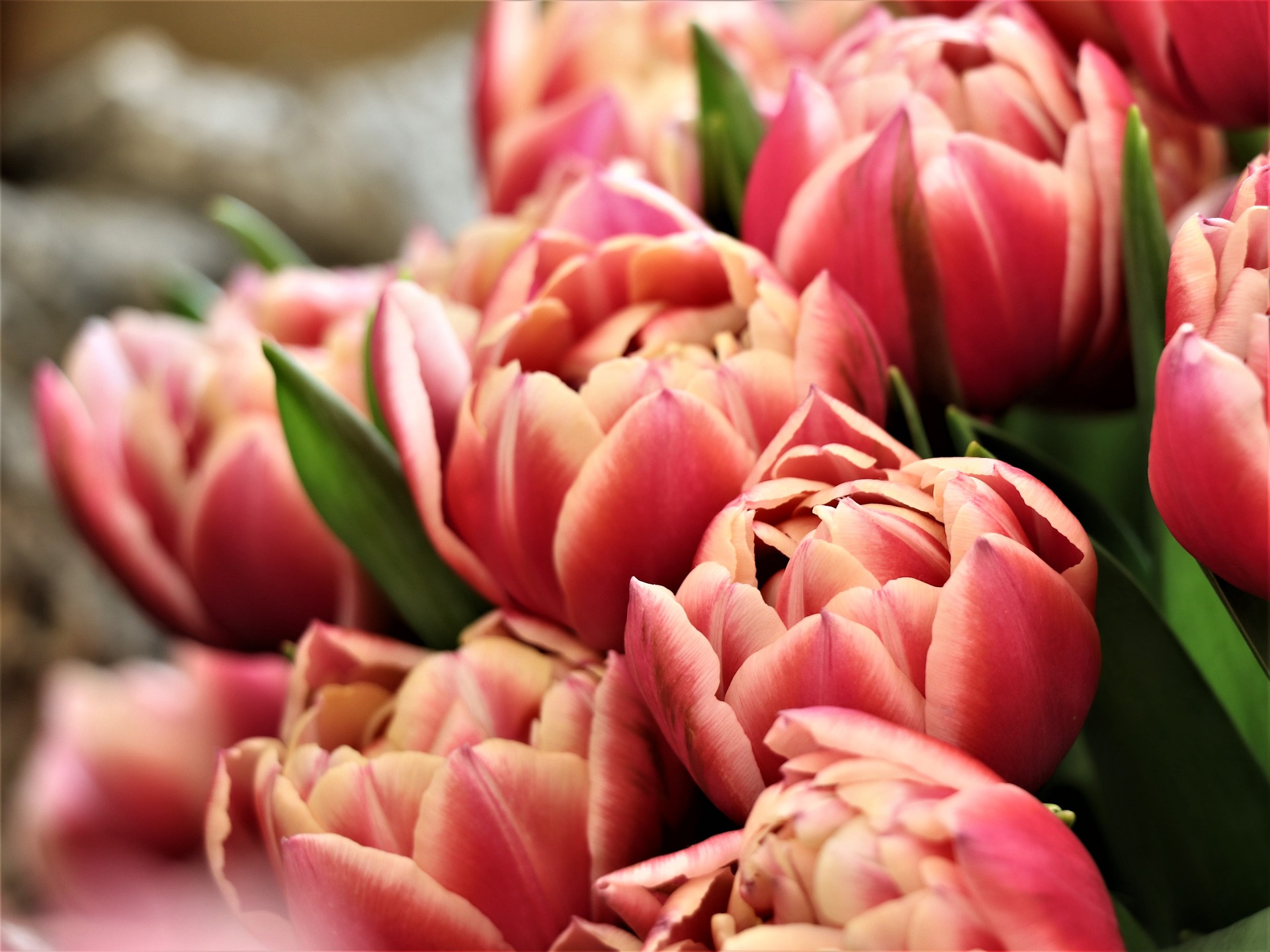 tulips-4030194_1920.jpg