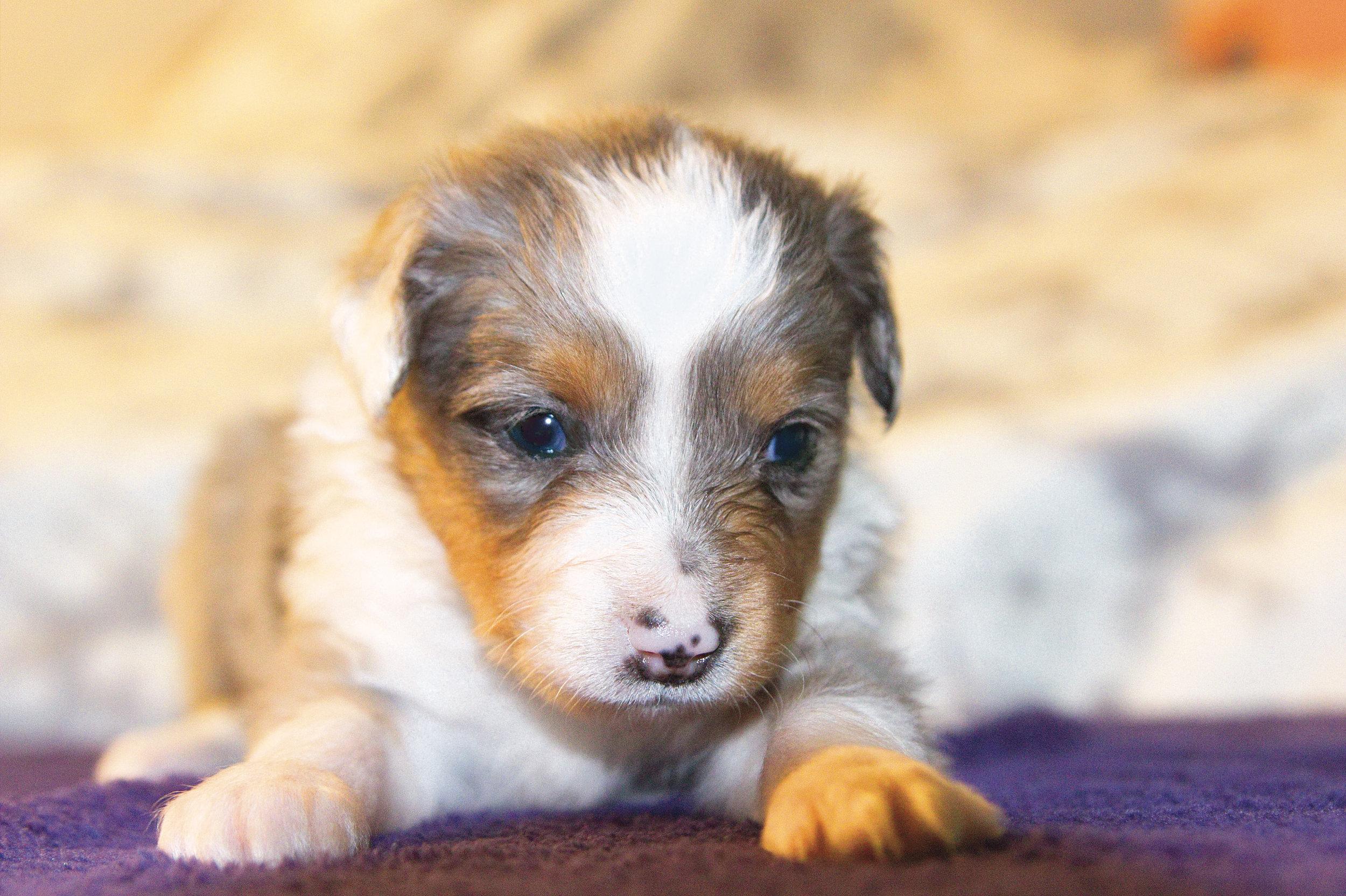 Angel Dust  ASDR Registered. Miniature Australian Shepherd  4 week old. Blue Merle Female. (Blue eyes)