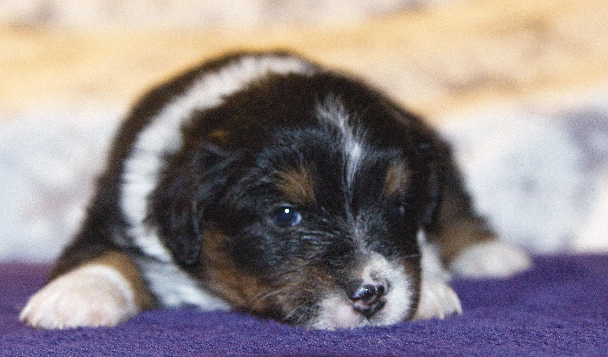 Weasel      ASDR Registered    Miniature Australian Shepherd    4 weeks old    Black tri male (brown eyes)