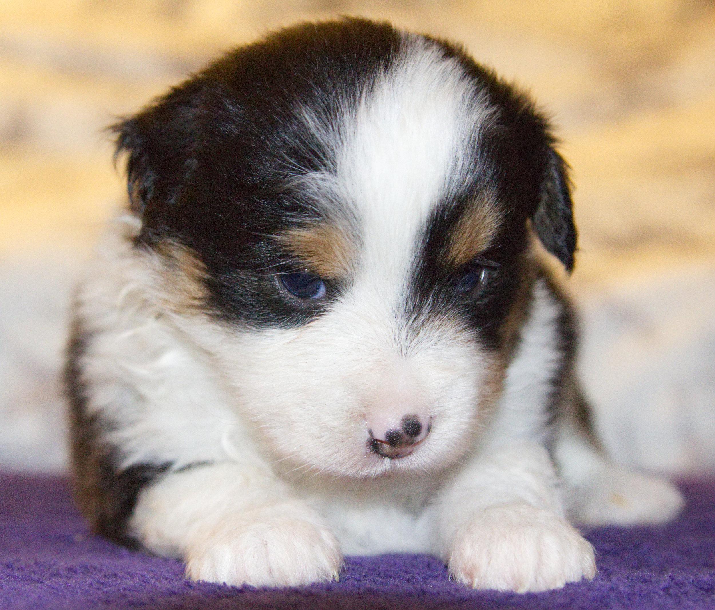 Francis (Ajax)     ASDR Registered    Miniature Australian Shepherd    4 weeks old   Black tri male (brown eyes)
