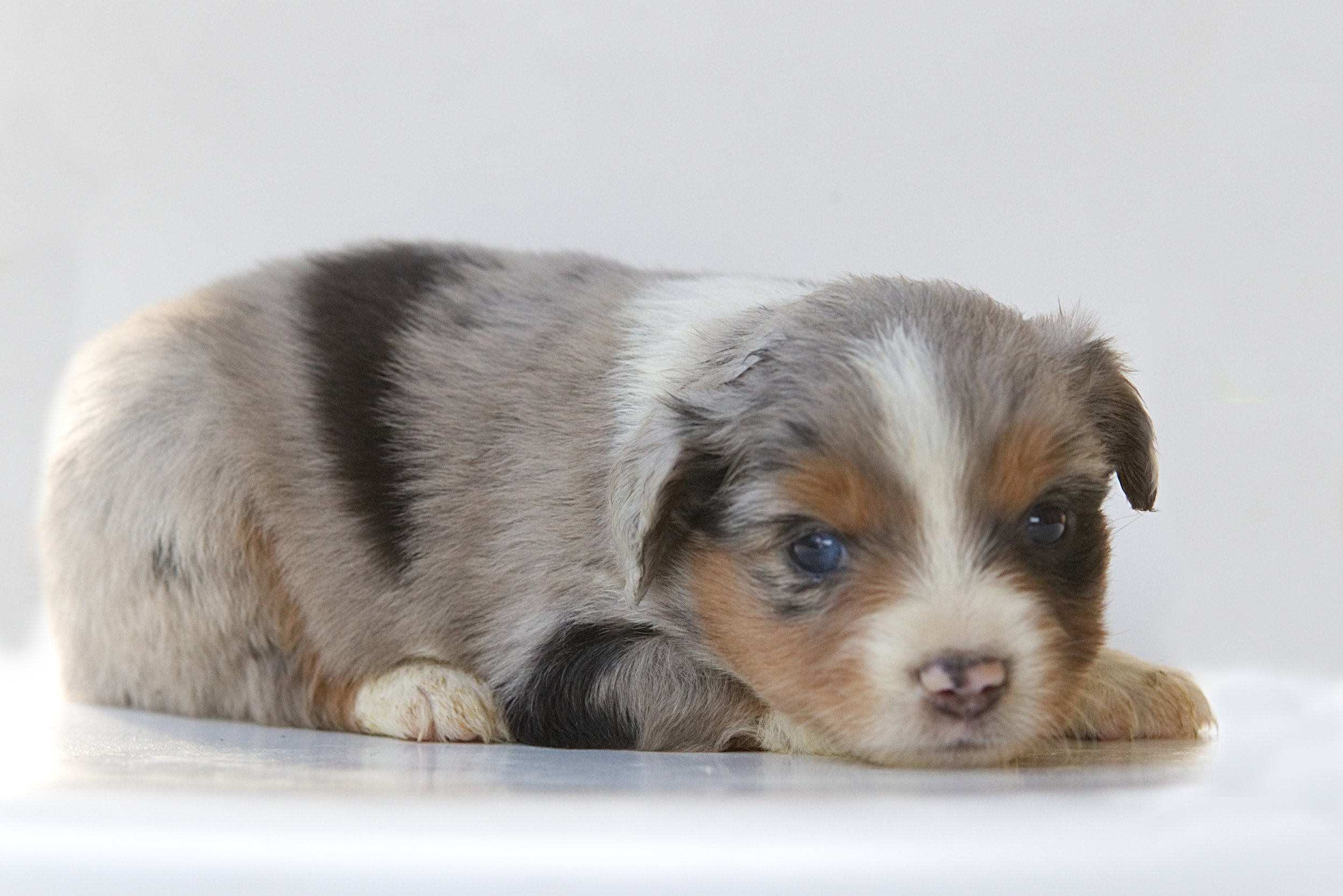 Becky Blue merle Female  May have one partial blue eye. ASDR Registered Ready May 22nd