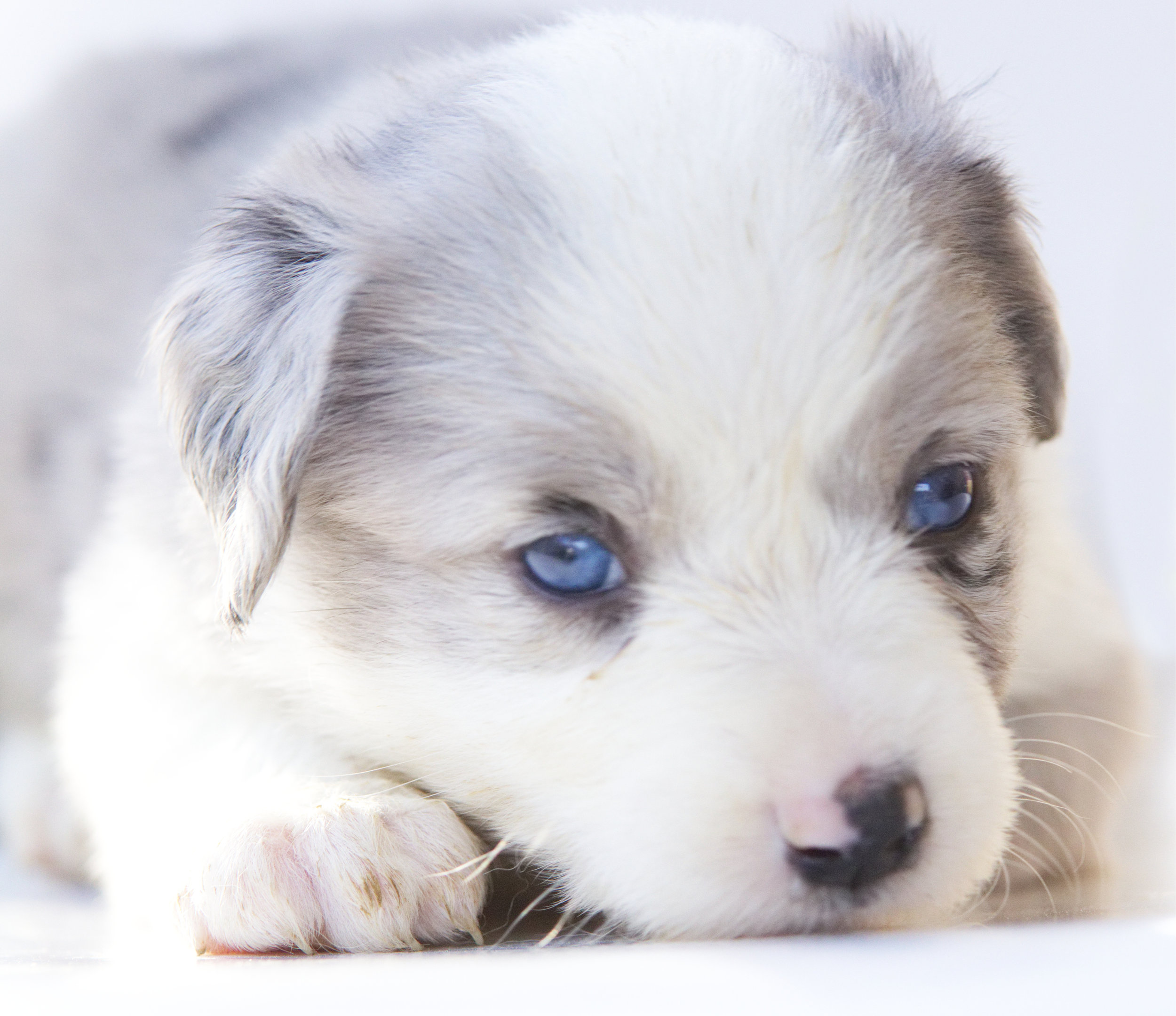Destiny Blue merle Female One blue eye one partial blue eye. (May change) NO COPPER ASDR Registered Ready May 22nd