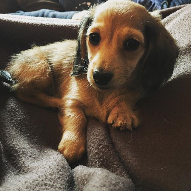 Showing off my model pose @dachshundogz @dachshundsofinstagram @mayathedox #dachshundsofinstagram #dachshund #puppyoftheday #doxie
