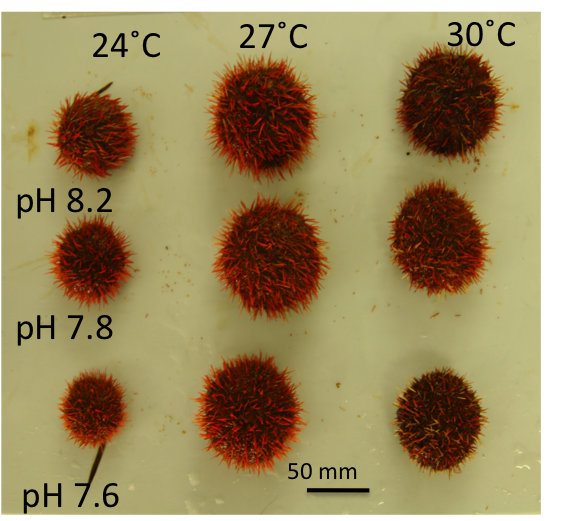Figure 2:  An example of the complex interplay of multiple environmental drivers on marine life.  Temperature and pH both had a significant effect on growth of this sea urchin.  Acidification reduced body size and warming mitigated this effect. Image - courtesy of Maria Byrne (University of Sydney, Australia).