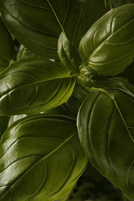 Ocimum basilicum (Basil) a c 012a.jpg