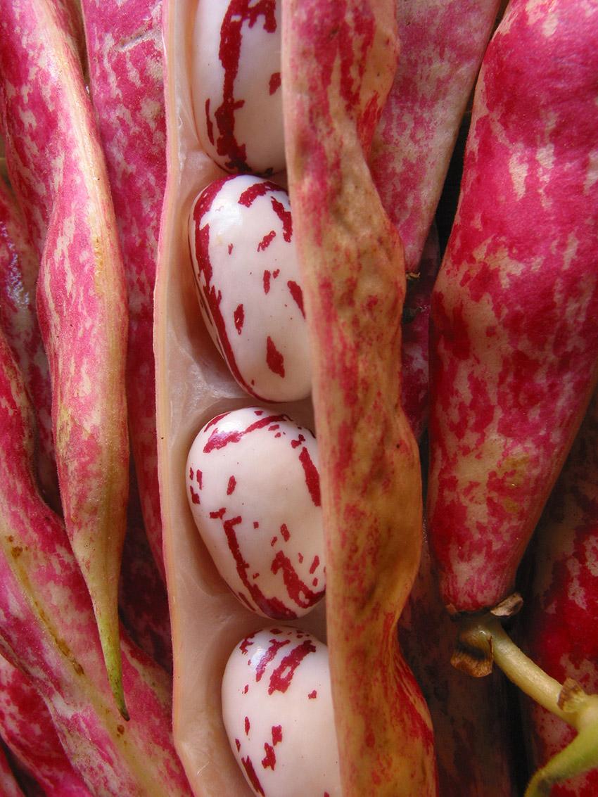 fresh barlotti beans 3.jpg