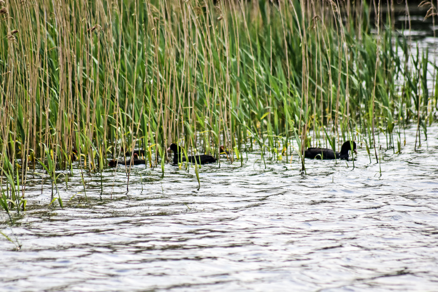 Coots and diving birds can be a nightmare when fishing towards reedbeds and other marginal swims.jpg