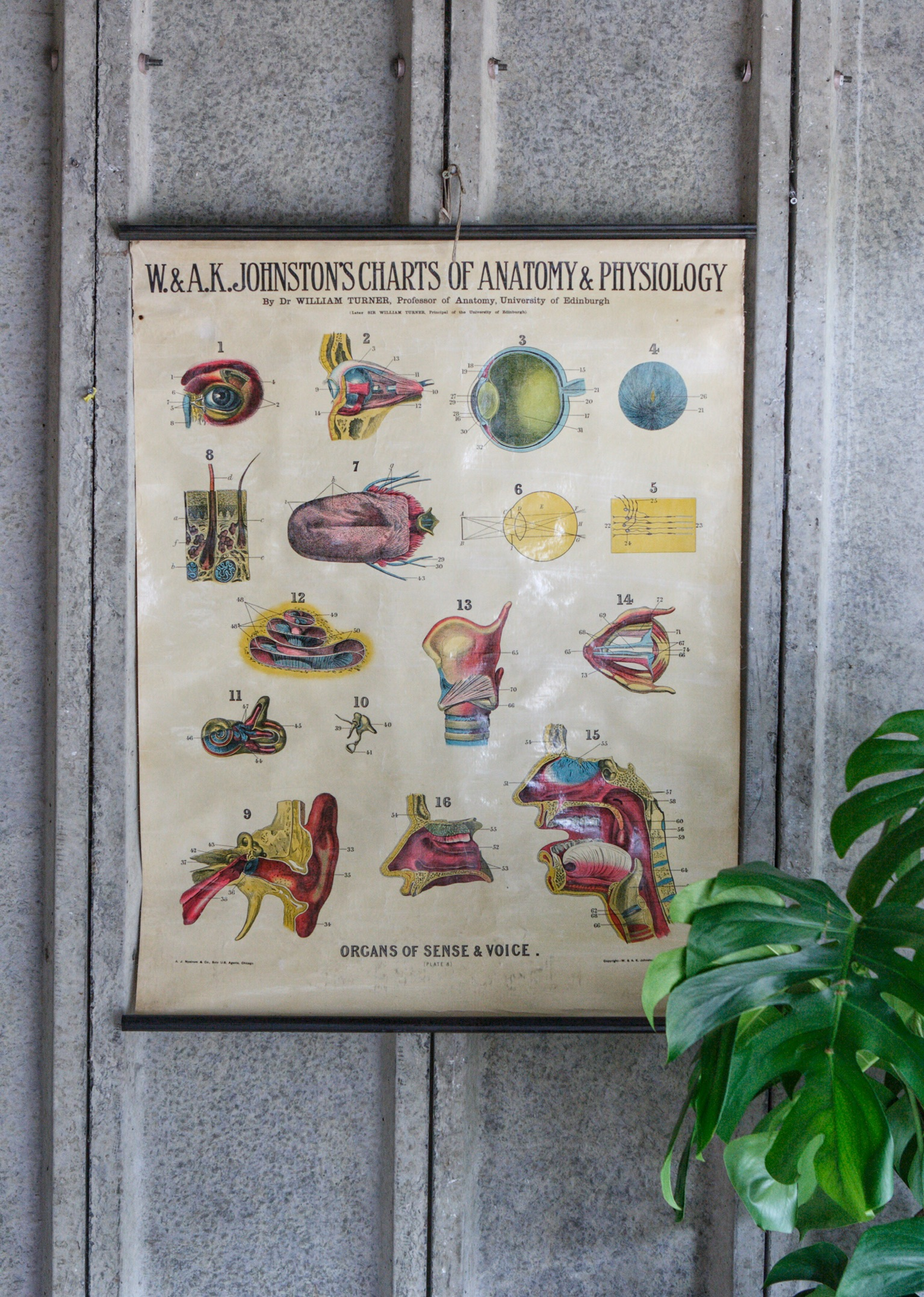Early 20th Century Anatomical Chart