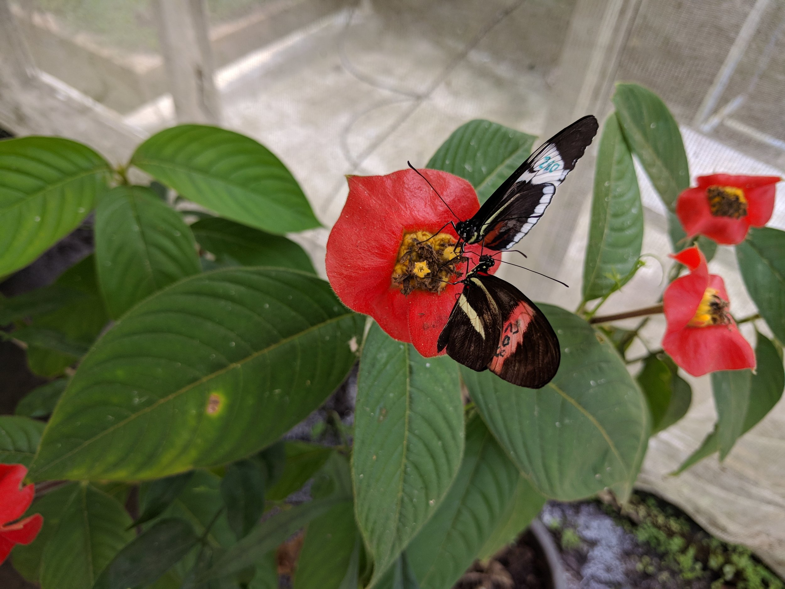 Heliconius melpomene rosina  (red and yellow) and  H. cydno chioneus  (black and white) feeding from the same plant.