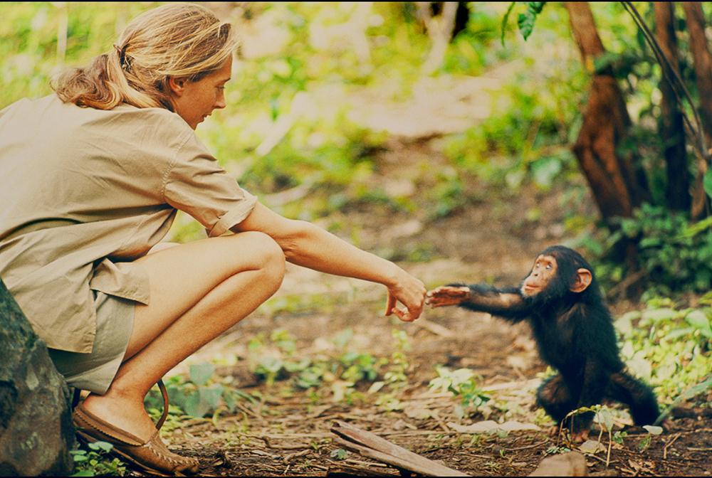 Jane-Chimpanzees.jpg