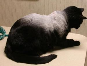This patient underwent radiation therapy for a vaccine associated sarcoma. Cats tolerate radiation with minimal side effects. Hair color changes following radiation therapy are common, but represent only a cosmetic change.