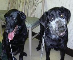 "The Black Labrador on the right is shown with a new ""mask"" of white hair following radiation therap"