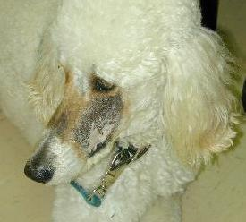 The Standard Poodle is shown with his new brown hair