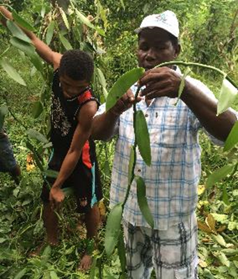 Smallholder vanilla bean farmers at work. These individuals will sell their product to Lafaza.