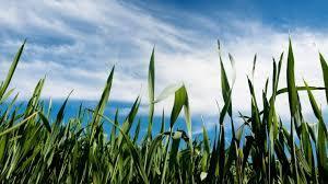 SOJ Grass 2.jpg