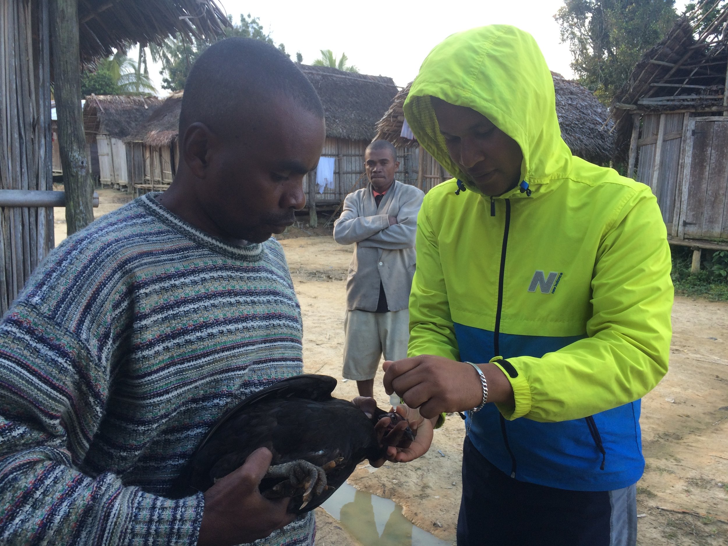 Dr. Miharifetra administers newcastle disease vaccine to a chicken in northeast Madagascar