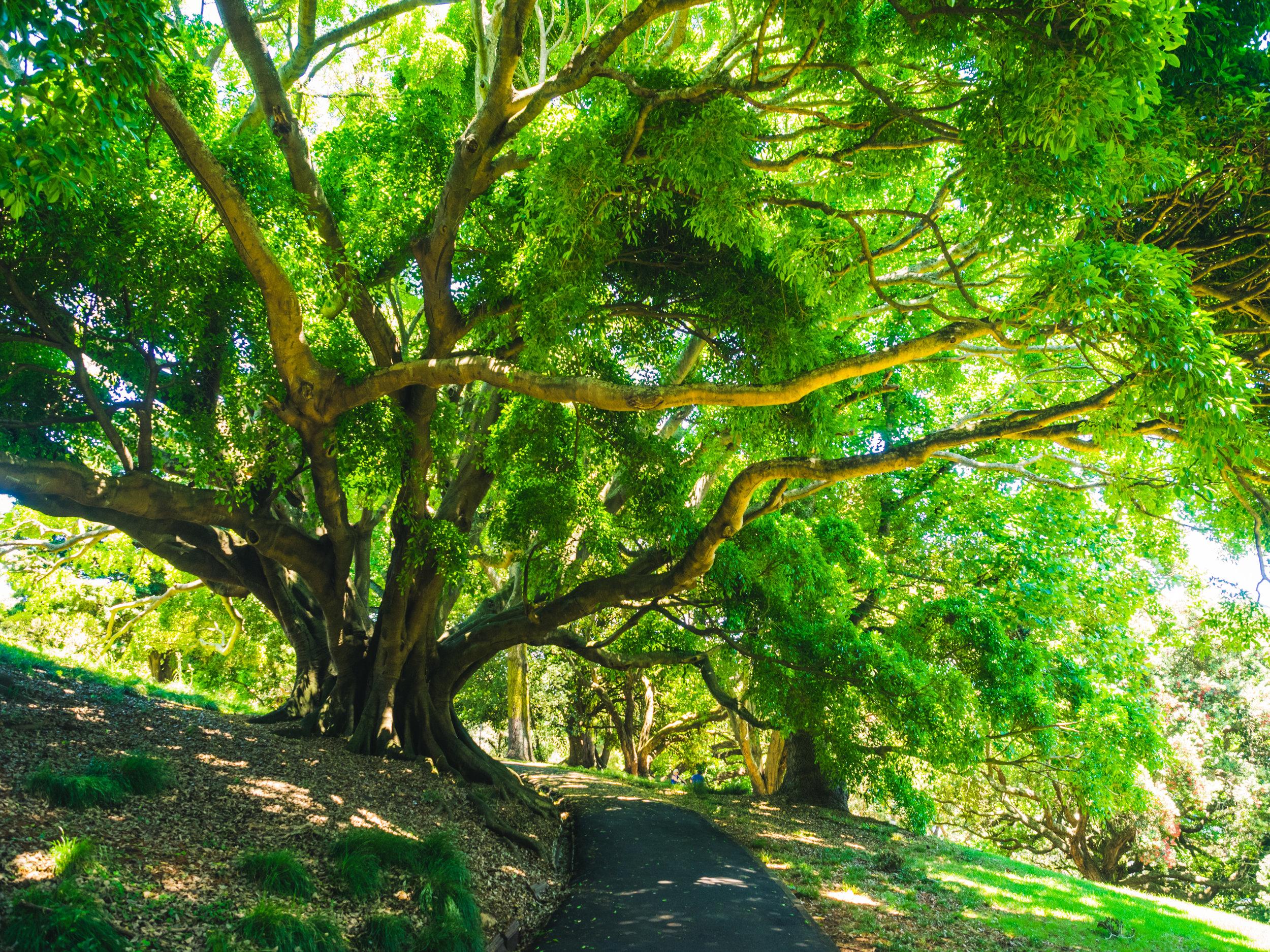 trees in Albert Park - Massive!