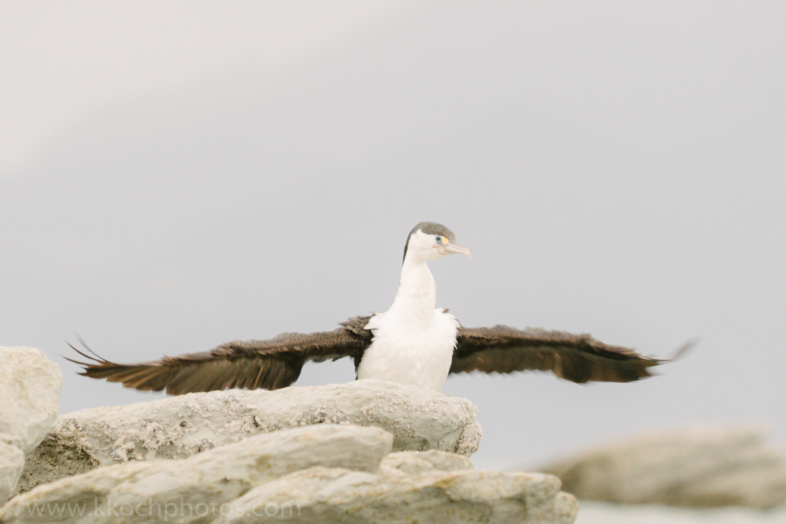 Pied Shag Bird airdrying