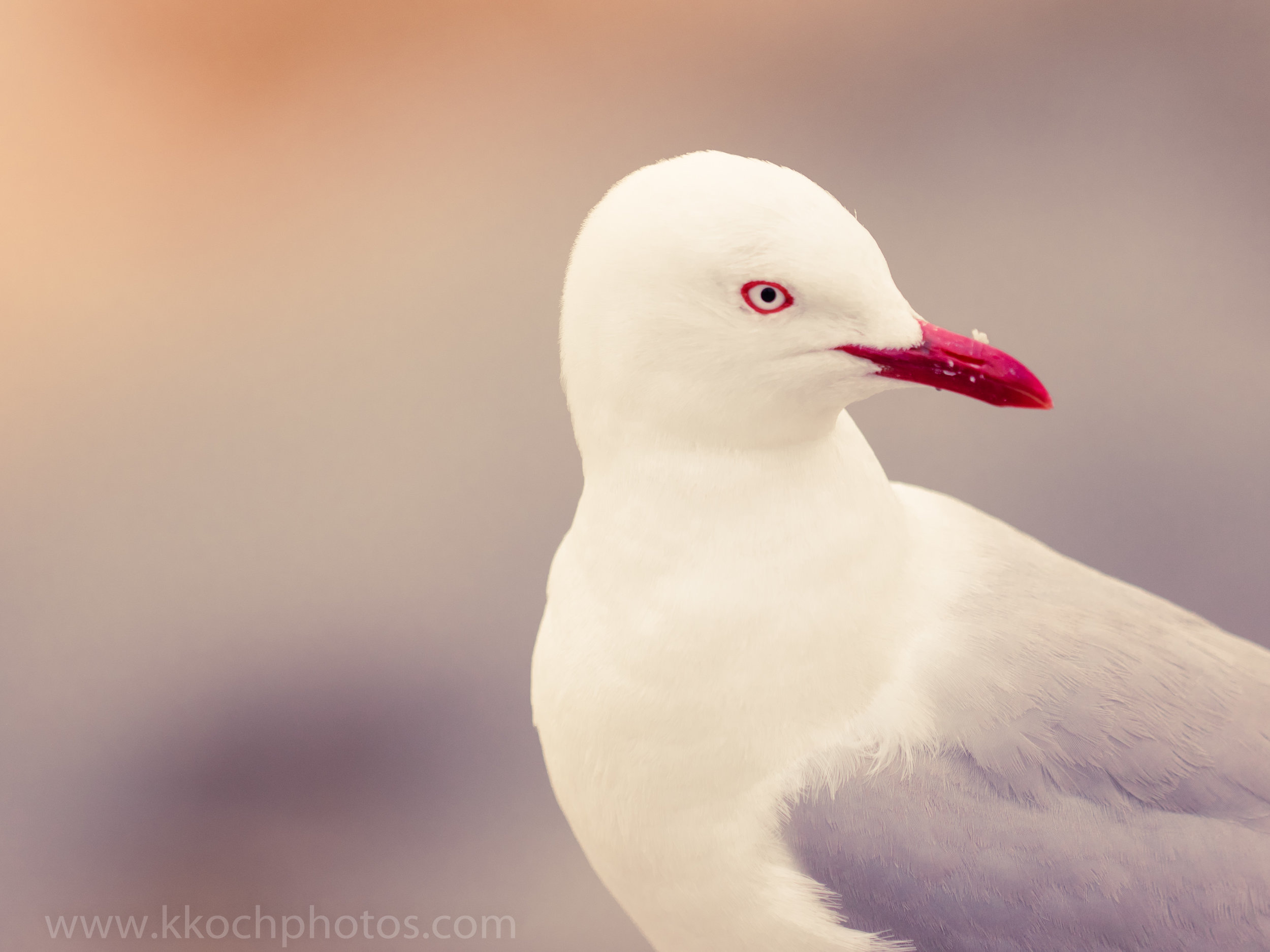 the seagulls look a bit different in NZ