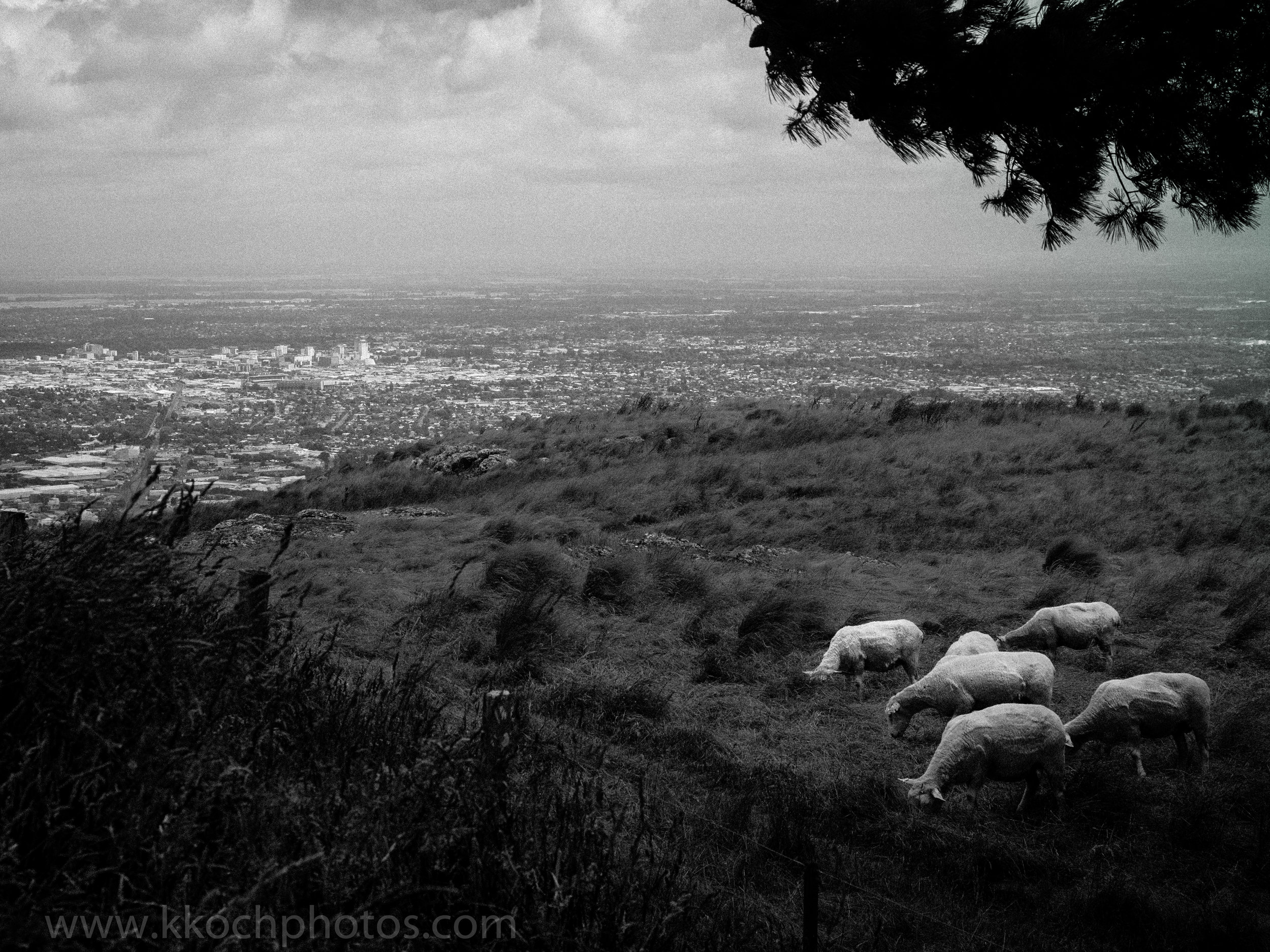 sheep grazing with christchurch in the background