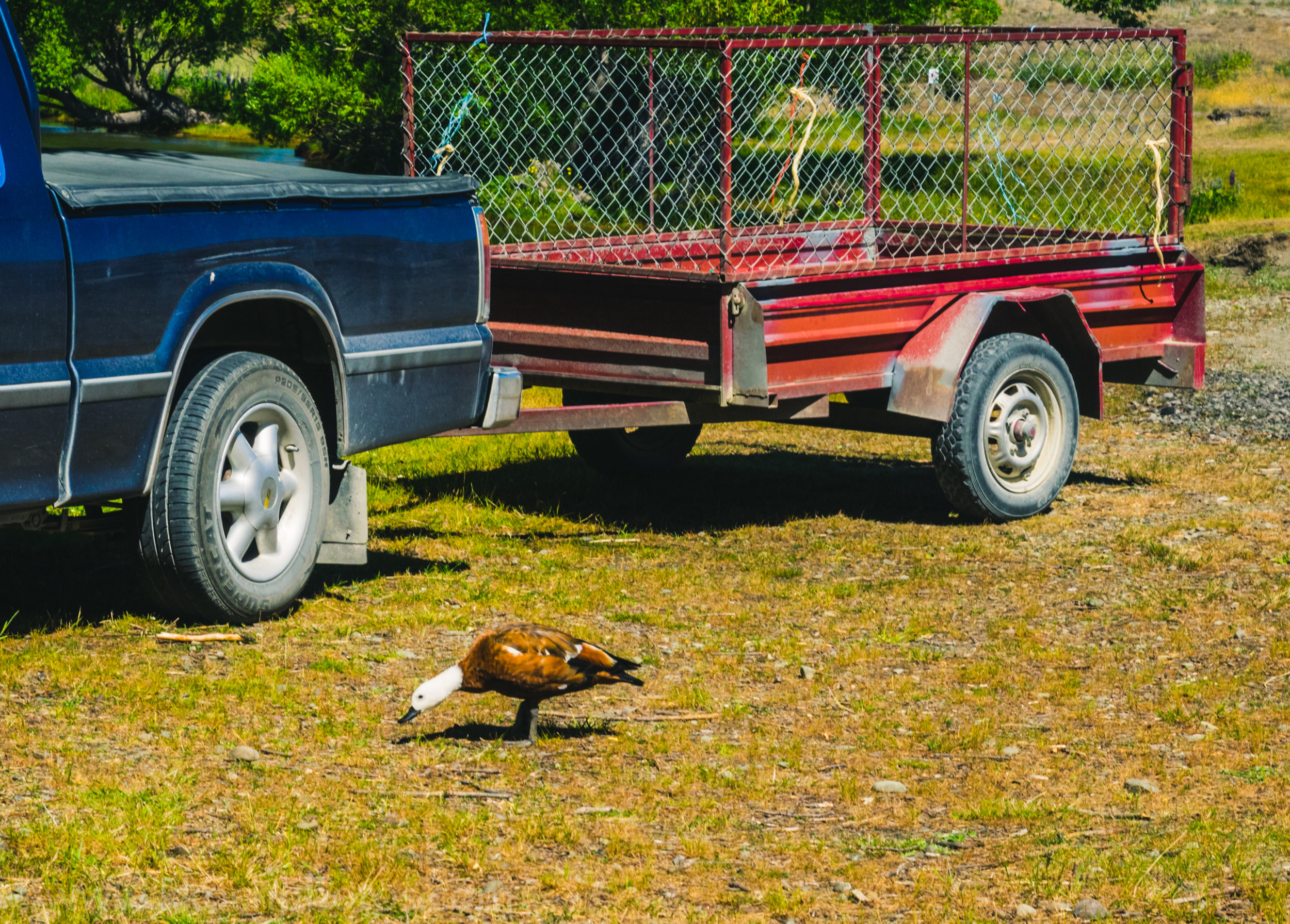 At the campground (which got completely full BTW), the campground host had this unique duck following him around. apparently one day he showed up, and he started feeding him, and the duck hasn't left his side. He squacks people away if they get too close to him! The guy was even petting him.