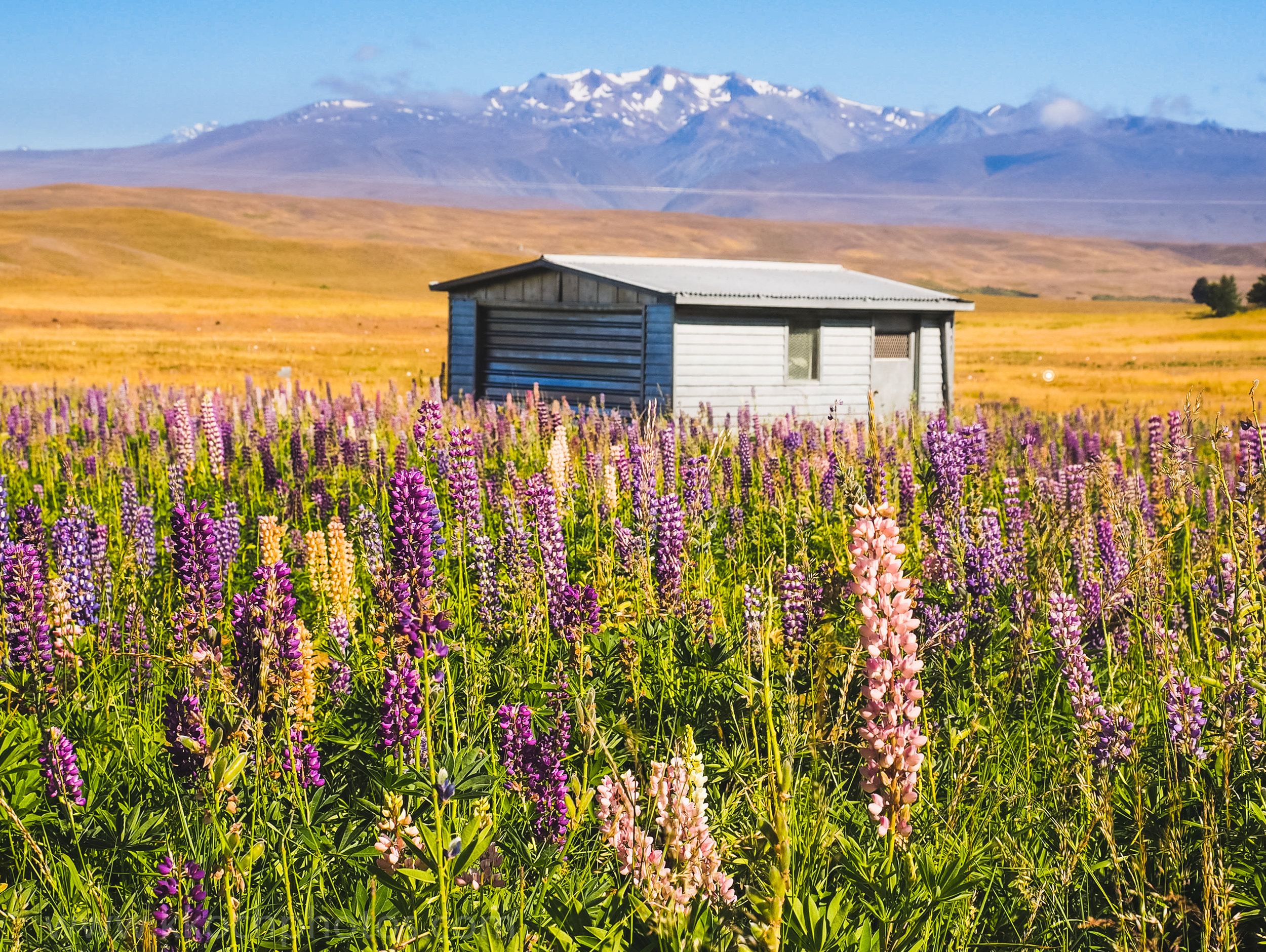Lupine fields near Tekapo