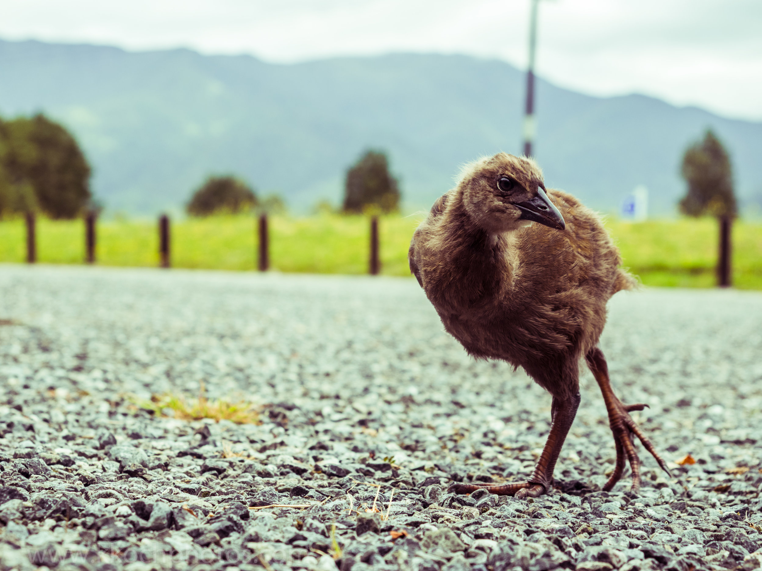curious family of Weka
