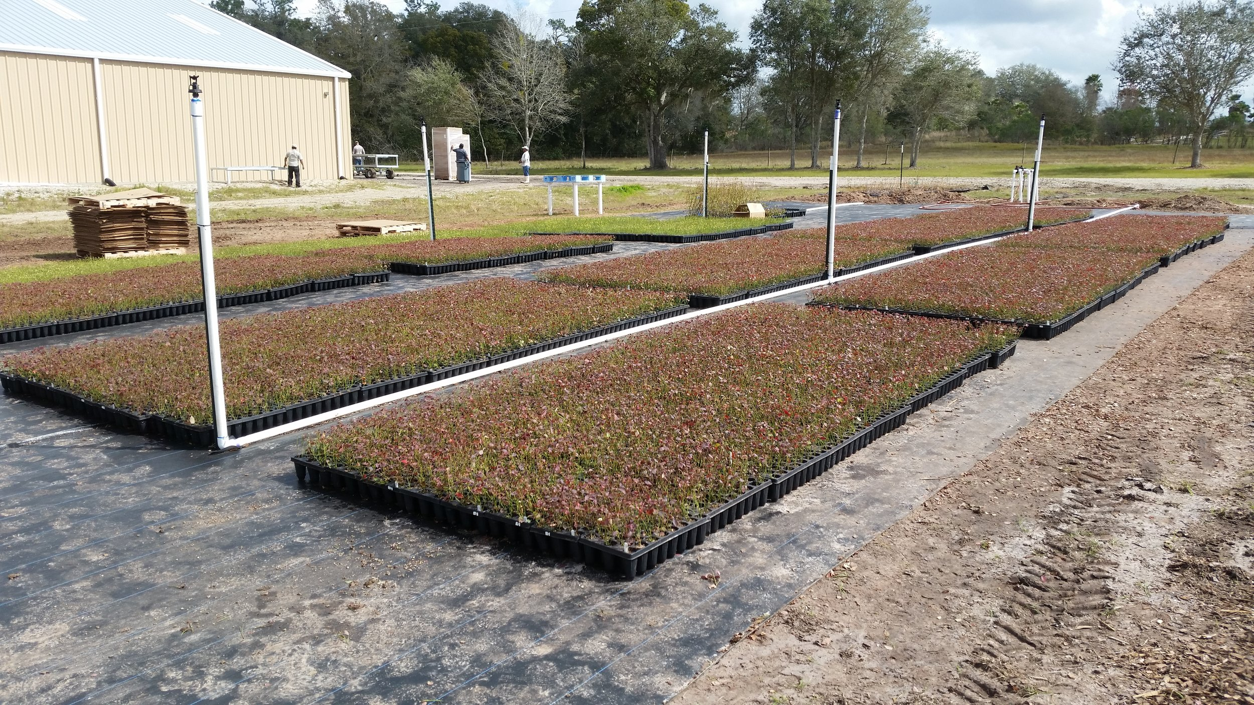Thousands of young blueberry plants in our nursery, ready for planting.