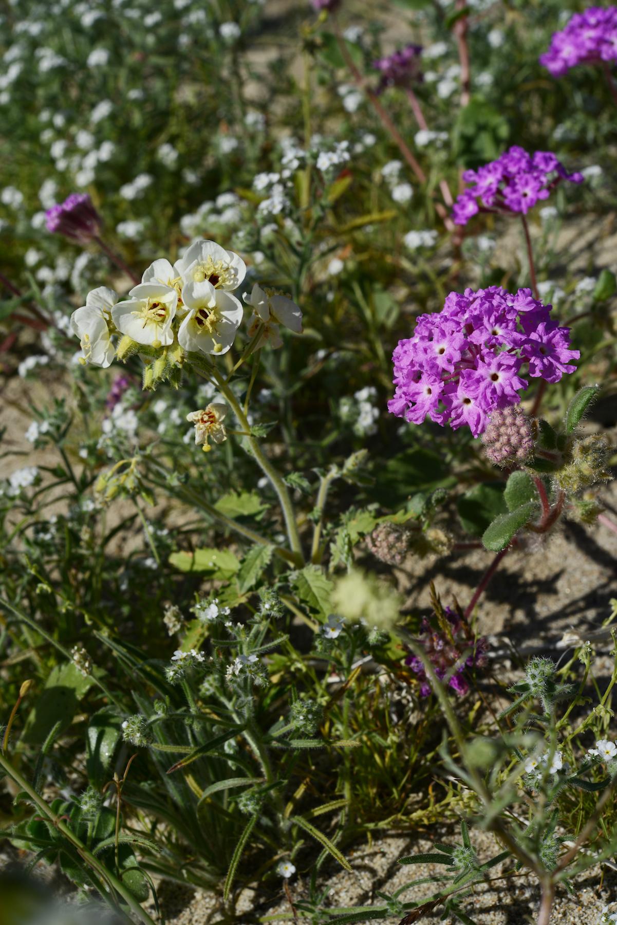 Desert Flower_2_resize.jpg