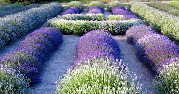 lavender_fields_essential_oils.jpg