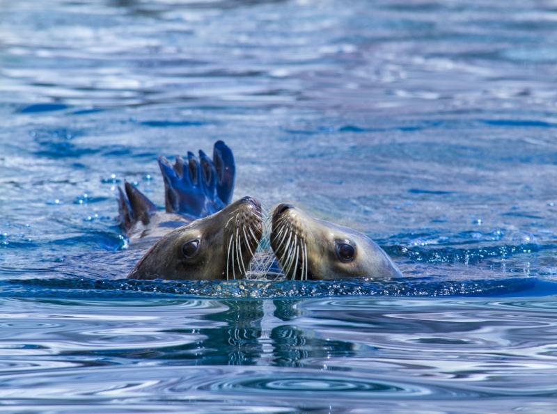 Sea Lion Kiss.jpg
