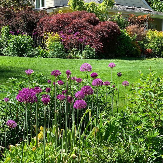Allium 'Purple Sensation '