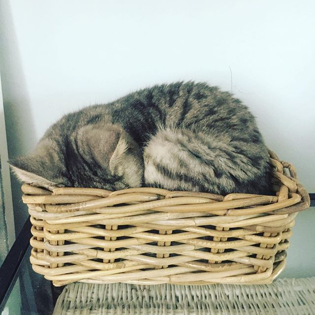 #tintincat #iwanttobealone #sleepybritishshorthair #bedtimecat #imtiredtoo #kitteninabasket #fridaynightcat