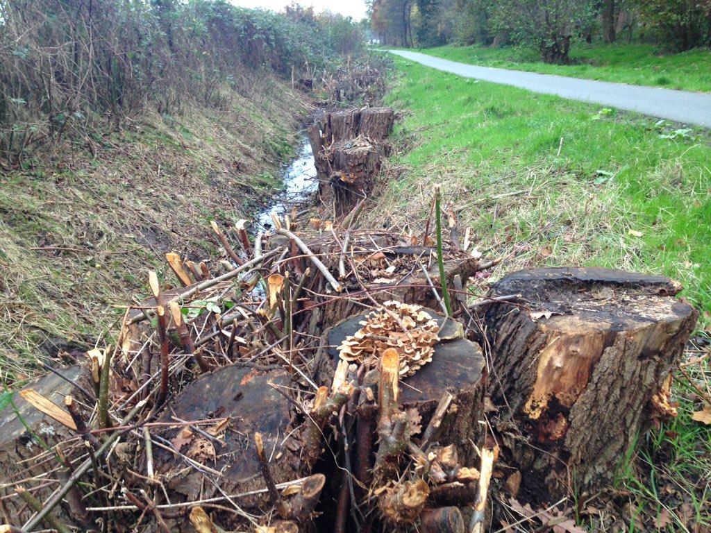 De gemeente liet de oude elzenstobben herhaaldelijk klepelen, waardoor de bomen ernstig verzwakt raakten. Deze foto werd genomen in 2015 (foto Patrick Jansen)