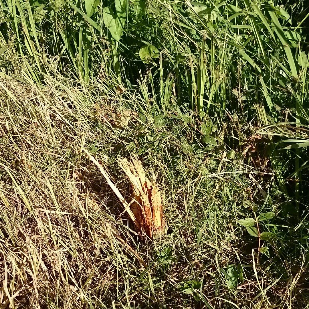 Eén van de zeker 15 jonge elzen die alweer zijn gesneuveld.