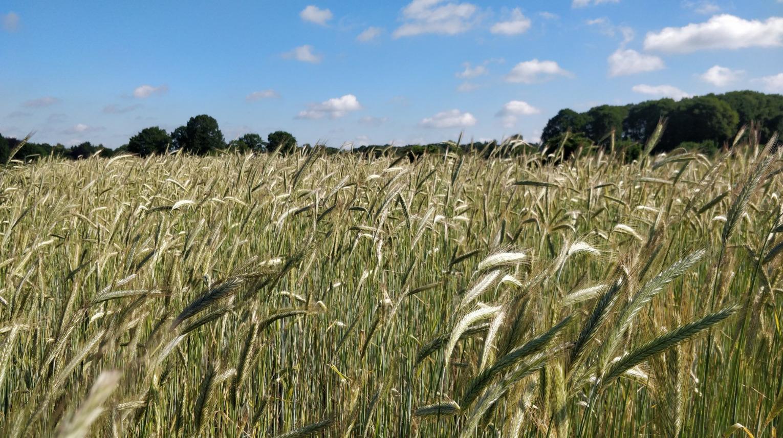 Wuivend graan op een weidse Wageningse Eng.