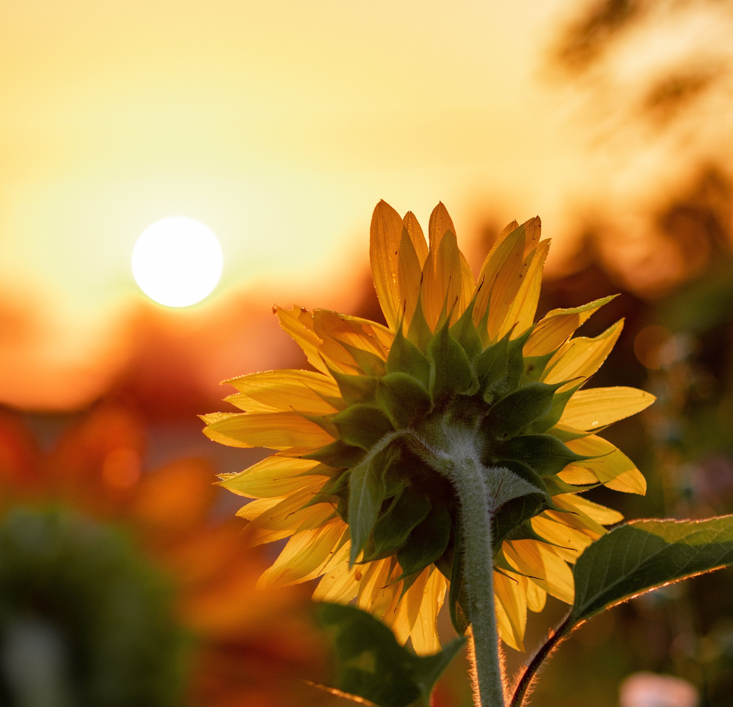 stephen-thaddeus-wawryk-luna-maha-sunflower.jpg