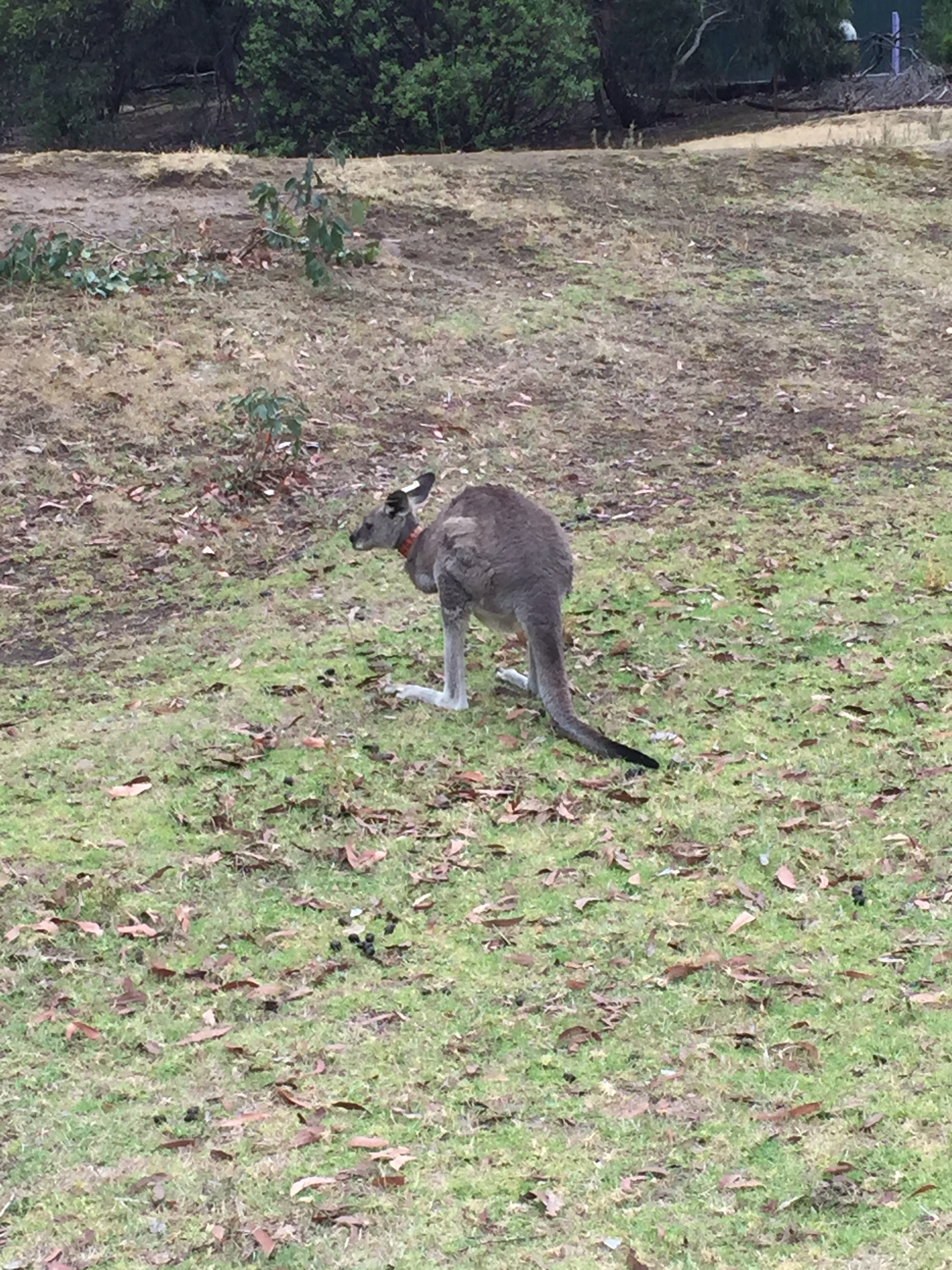 The Anglesea Golf Club is infested with kangaroos.