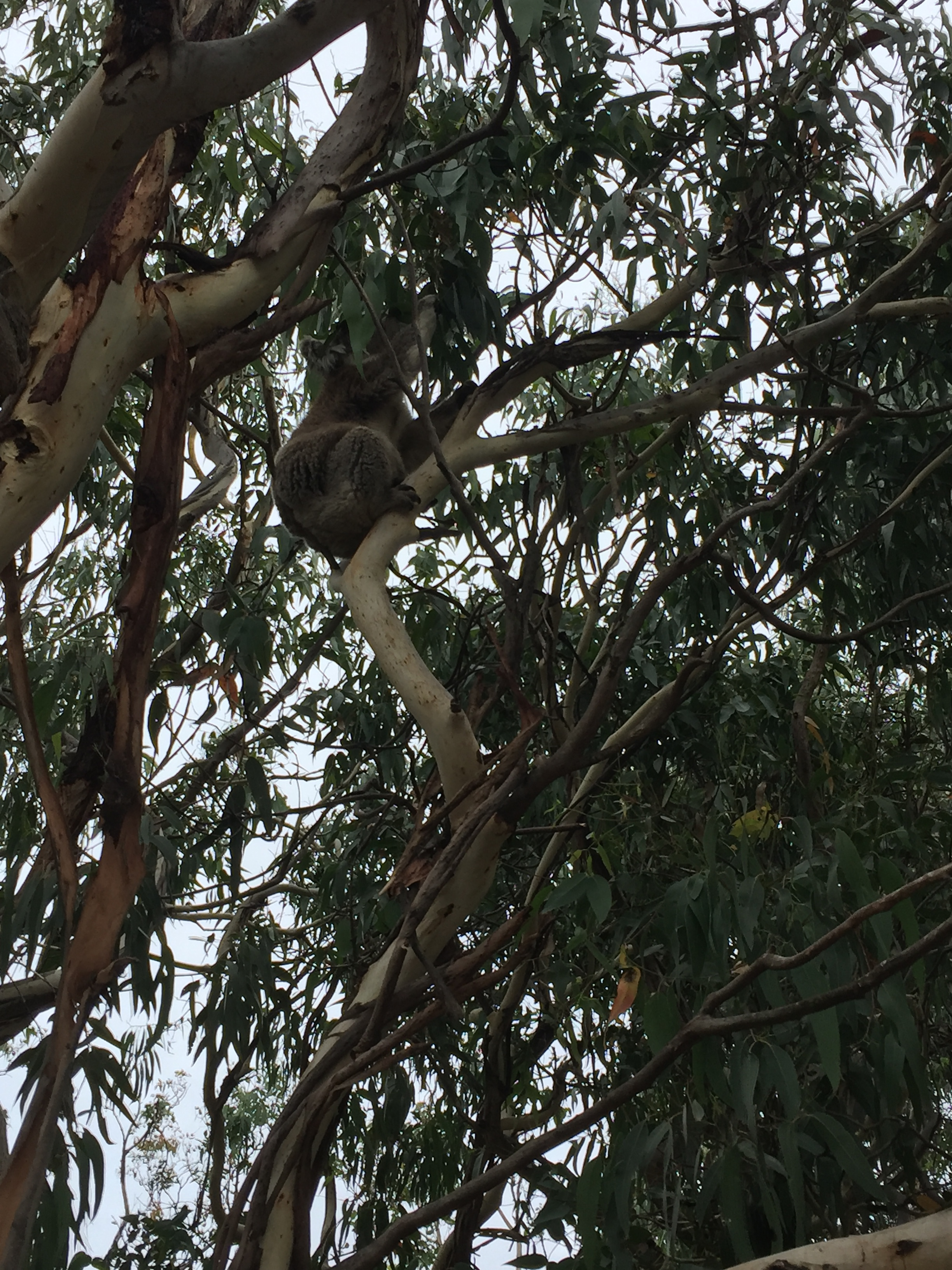 Koalas are actually fairly uninteresting and lazy animals.
