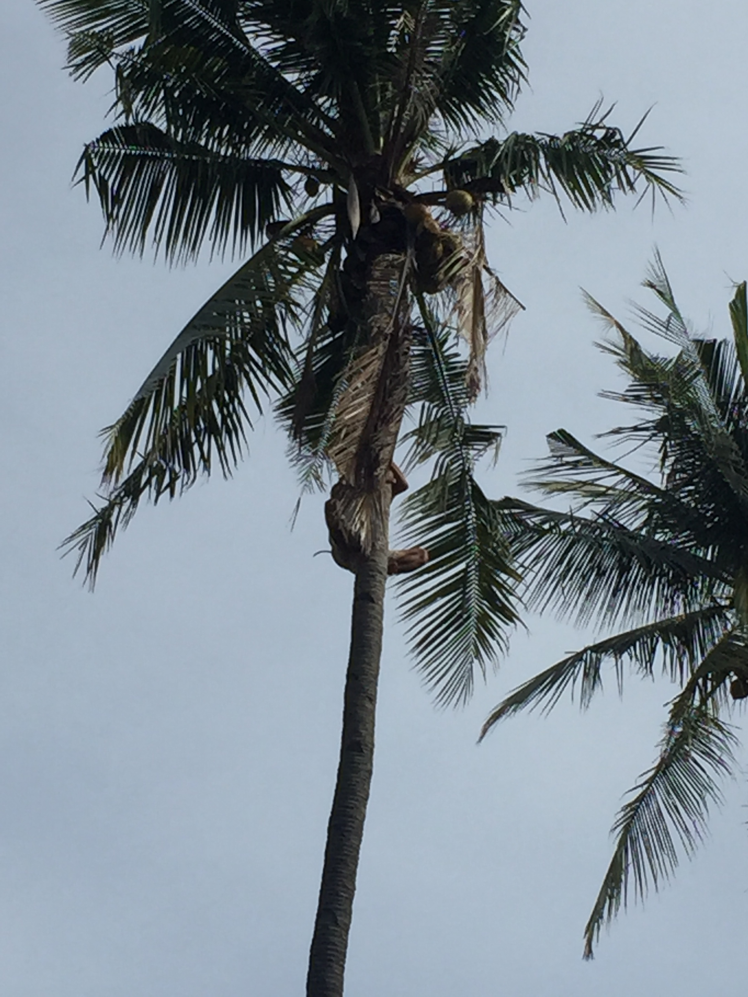 A local working at the hostel scales a 50-ft. coconut tree barefoot.