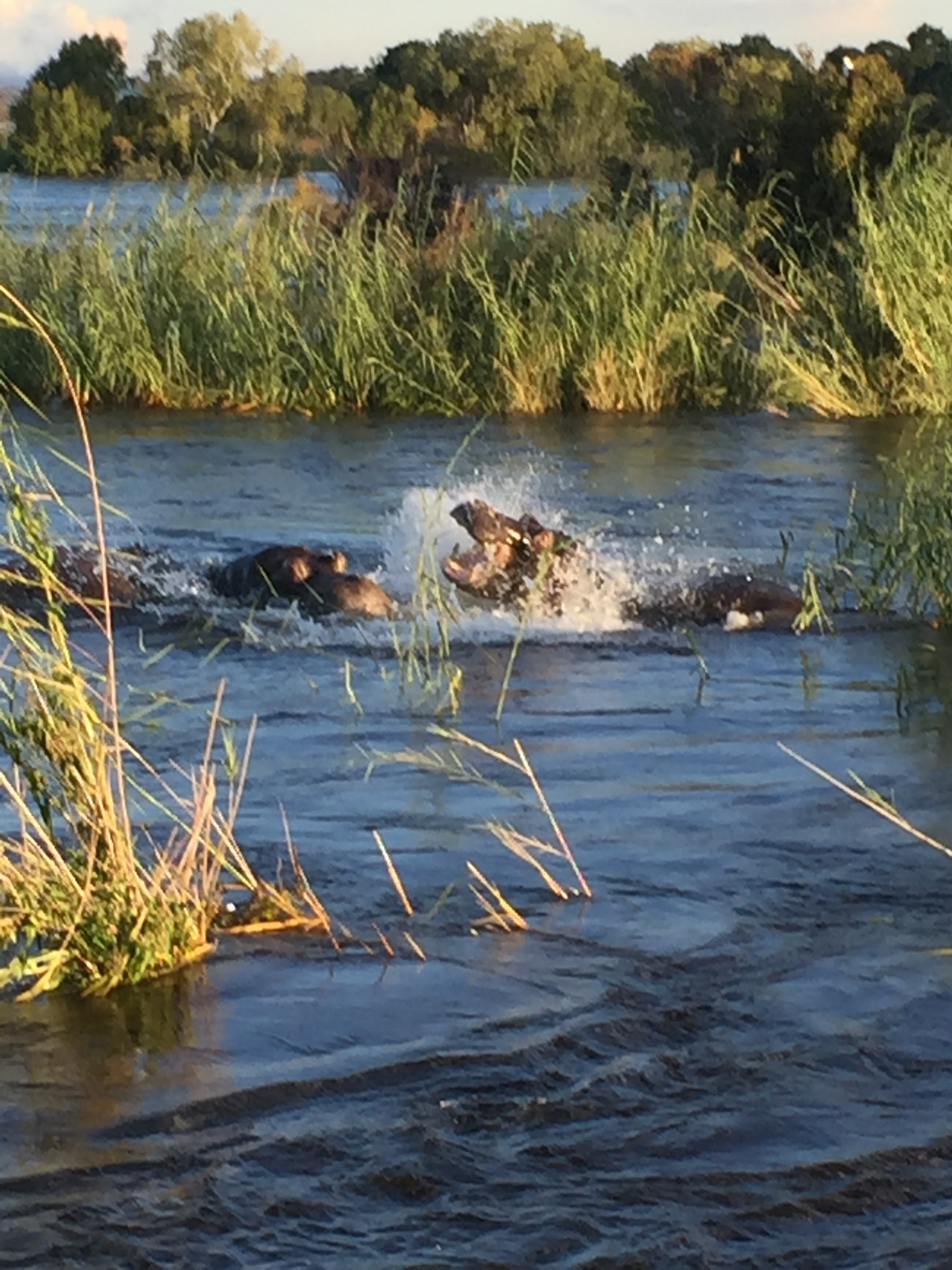 A casual hippo battle off the side of our sunset cruise.