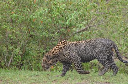 This jaguar had a bloody neck from fighting another jaguar.