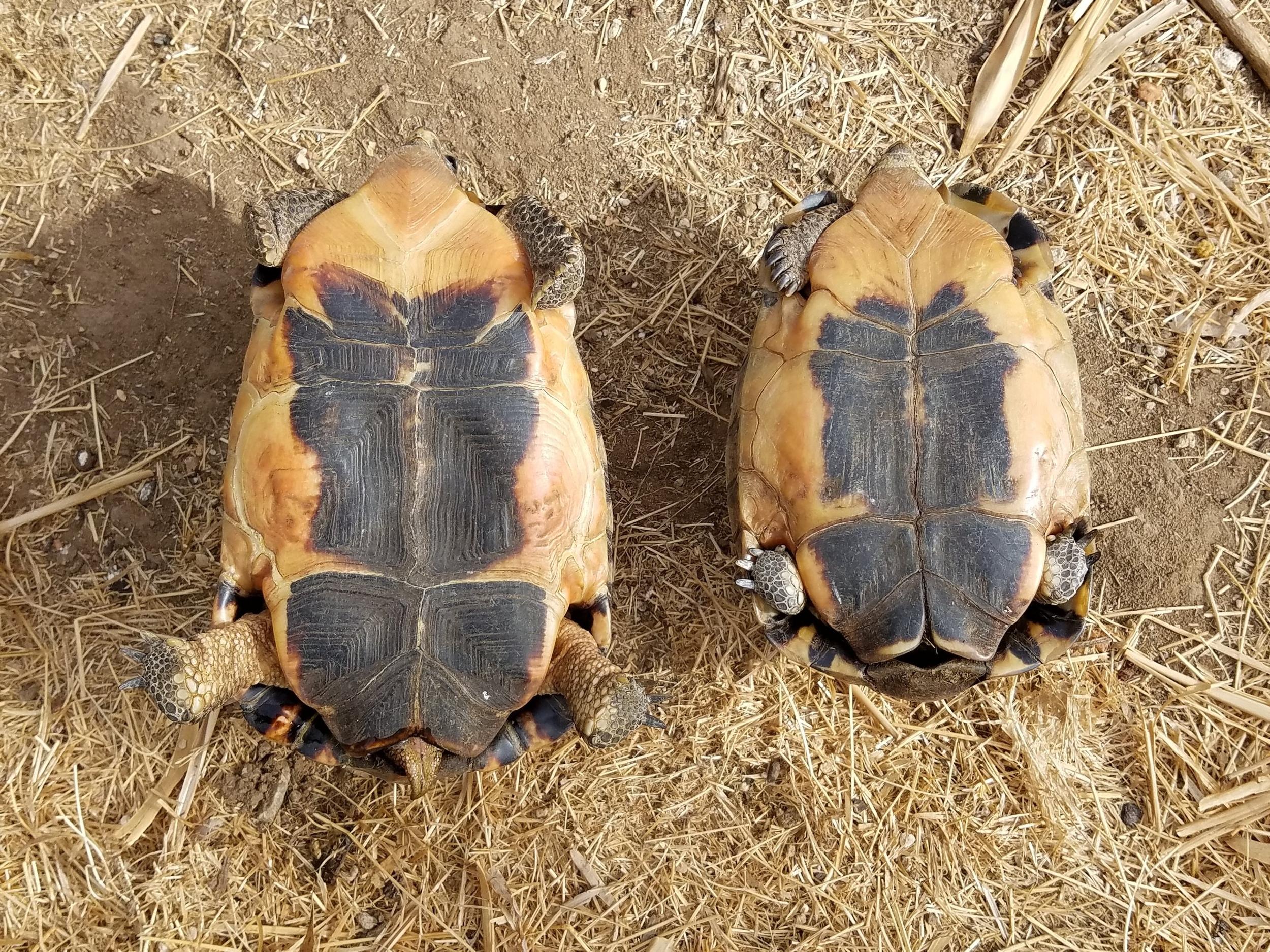 Photo by Steven Barker - Two adult Female Bowsprit Tortoises