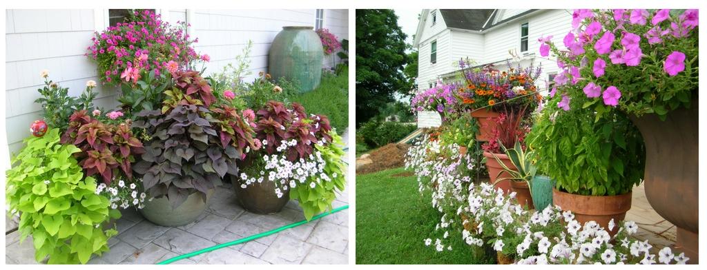 petunias in schonheit gardens petunias