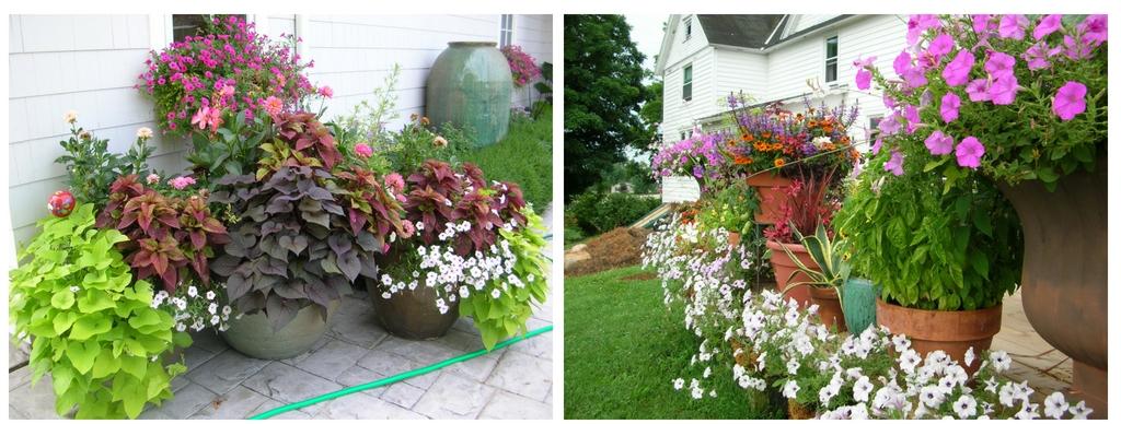 Petunias in Schonheit Gardens containers