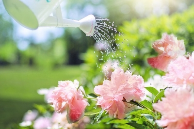 What  NOT  to do: water directly over the flowers. They'll wither away much more quickly with the impact and wetness.