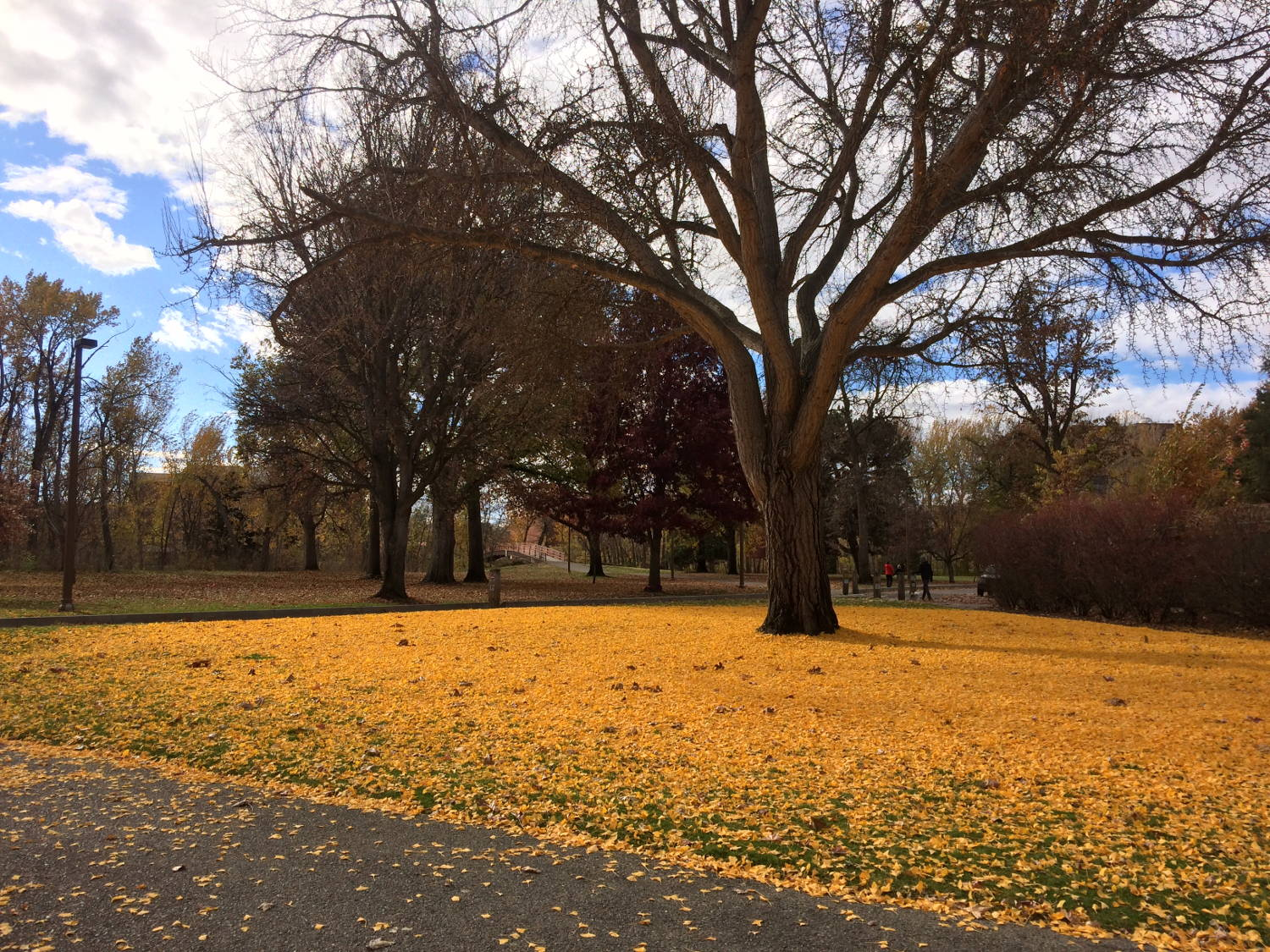 The vibrant gold leaves have fallen in Julia Davis Park, downtown Boise, Idaho.