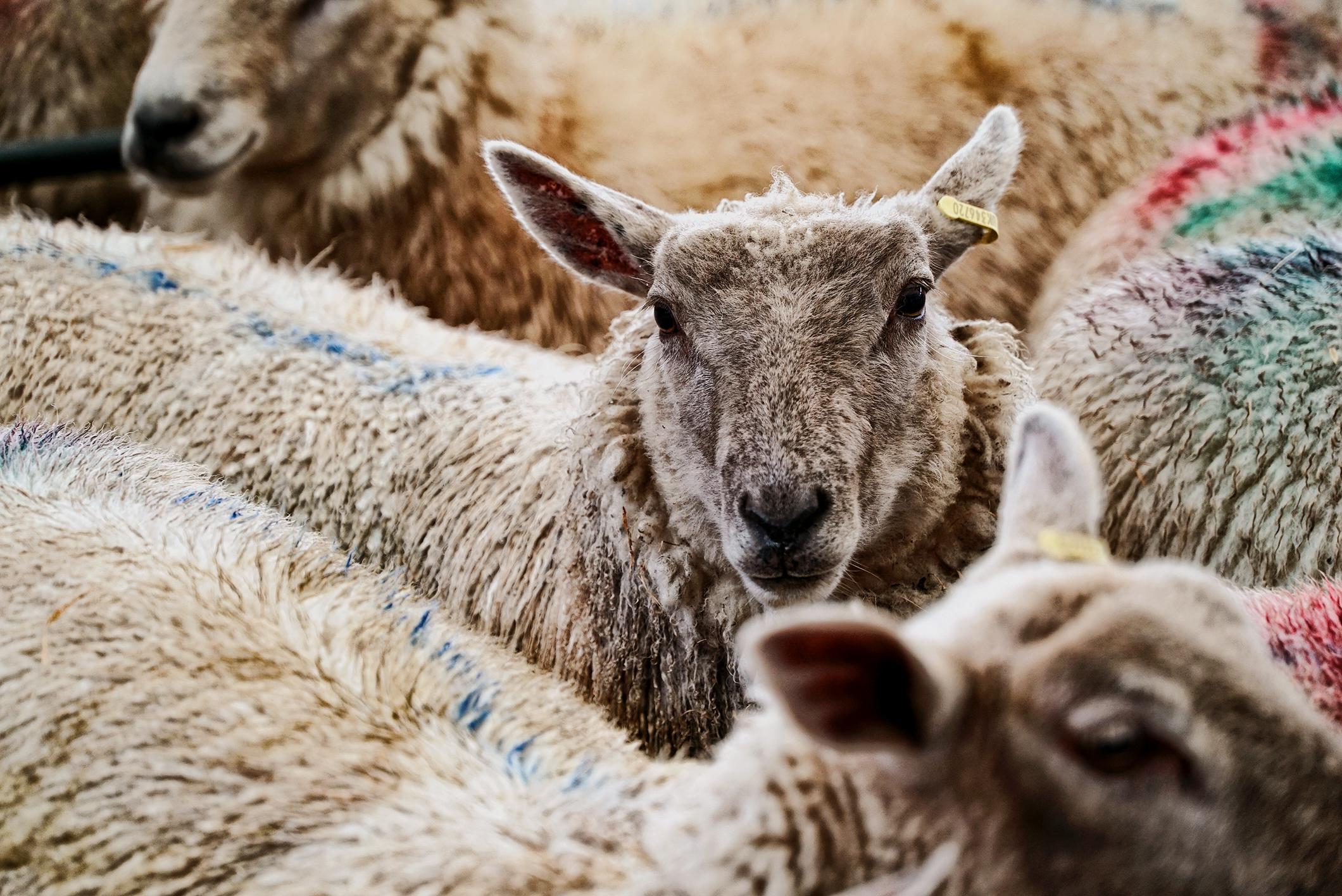 lamb_09w.jpg