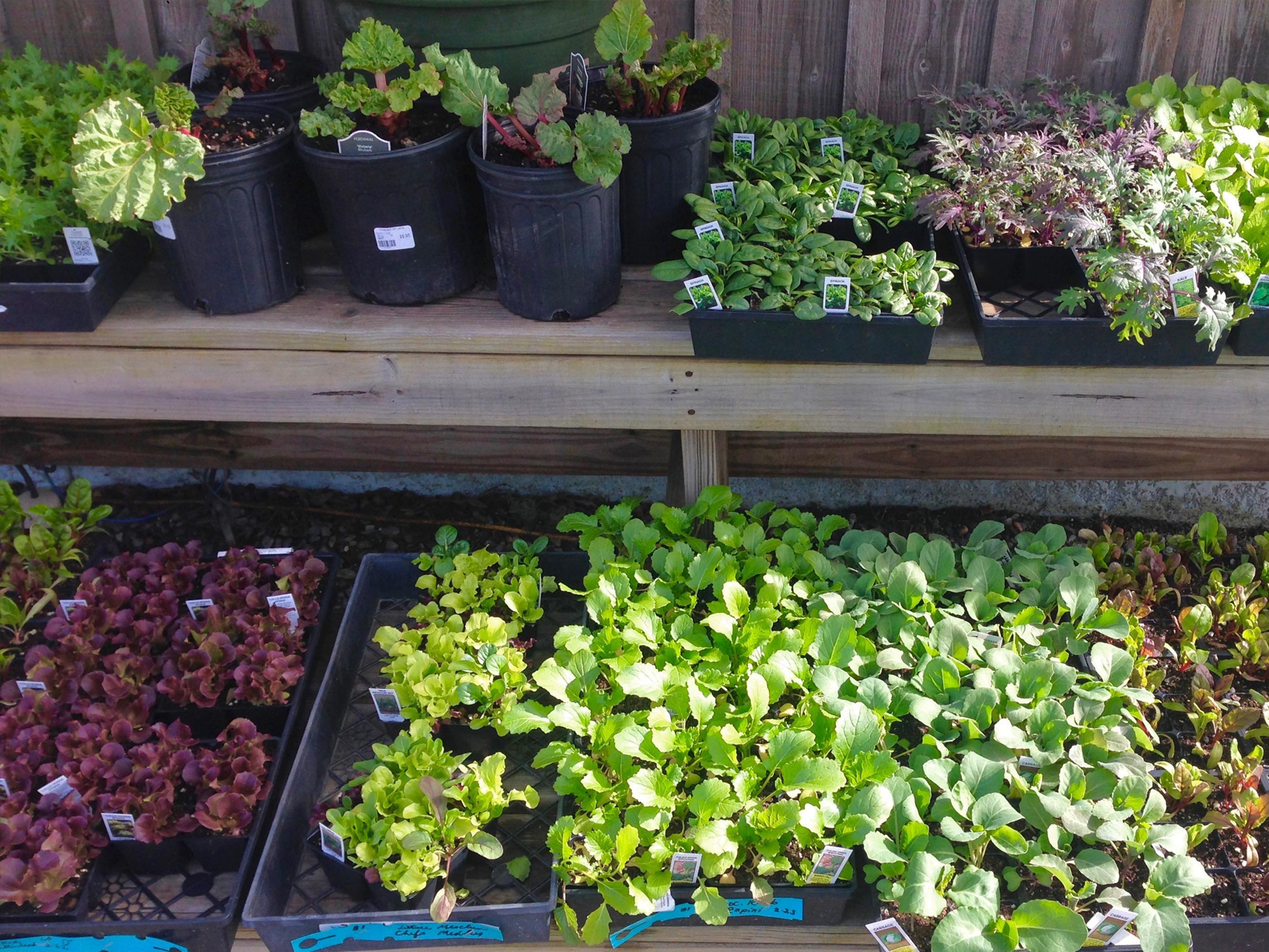 Various early greens and Rhubarb for sale at the Herb House at Vineyard Gardens