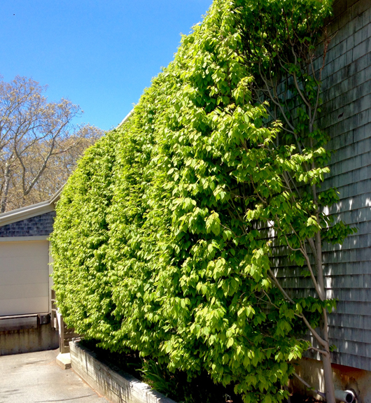 Carpinus as a hedge (at Cronig's up-Island)